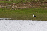 Styltlöpare - Black-winged Stilt (Himantopus himantopus)