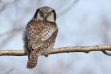Hökuggla - Northern Hawk-owl (Surnia ulula)