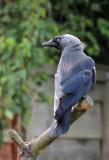 Jackdaw - Corvis monedula