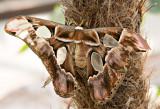 Atlas_Moth_D71_7681_c_nr.jpg