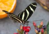 Zebra_Longwing_D71_7798_c_nr_H950.jpg