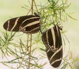 Zebra_Longwing_D71_7743_c_nr_H950.jpg