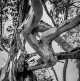 Limbs Callifornia - December 2015