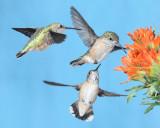 Rufous and calliope hummingbirds