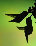 Hummingbird sillouette