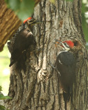 Adult and juvenile pileated woodpeckers