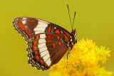 White admiral butterfly on goldenrod.