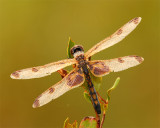Ten spotted dragonfly