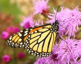 Monarch butterfly on blazingstar