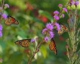 Monarchs on blazingstar