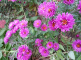 Aster blooming