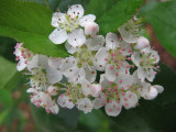 Nannyberry blooming