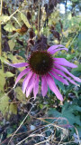 Coneflower holding on in the fall