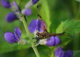 Dragonfly on wild indigo