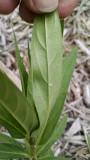 Monarch butterfly egg on swamp milkweed
