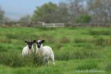 Hidden lambs