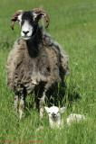 Eric had a little lamb