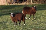 Sharp dressed lambs