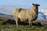 Especially for ewe