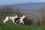 Racing lambs