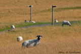 Summertime bl-ewes