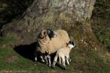 Hiding lamb