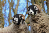T'up hill sheep