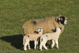 Lambs and mam