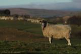 Looking at ewe