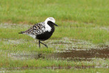 Black-bellied Plover 9816