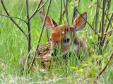 White-tailed Deer Fawn 0151