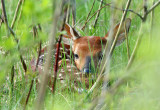 White-tailed Deer Fawn 0166