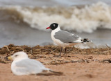 Franklin's Gull 0721