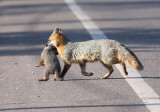 Gray Fox Family