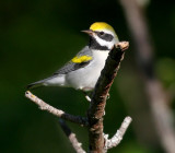Golden-winged Warbler 1999