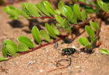 Northern Barrens Tiger Beetle 4010