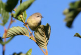 Orange-crowned Warbler 2782