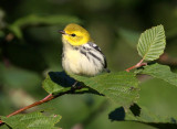 Black-throated Green Warbler 3017