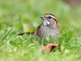 White-throated Sparrow 3190
