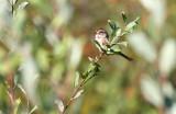 American Tree Sparrow 3564