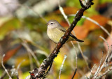 Orange-crowned Warbler 3393