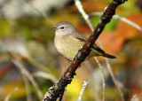 Orange-crowned Warbler 3393b