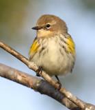 Yellow-rumped Warbler 3908