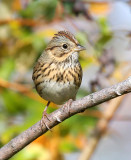 Lincoln's Sparrow 3988