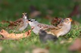 White-crowned Sparrow 3775