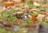Harris's Sparrow 4517