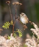 Swamp Sparrow 3924