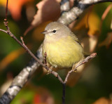 Orange-crowned Warbler 3646