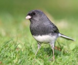 Dark-eyed Junco 3818