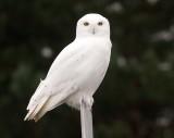 Snowy Owl 5581